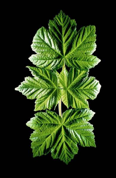 Dicotyledons Photograph - Newly Opened Leaves Of Sycamore by Dr Jeremy Burgess/science Photo Library