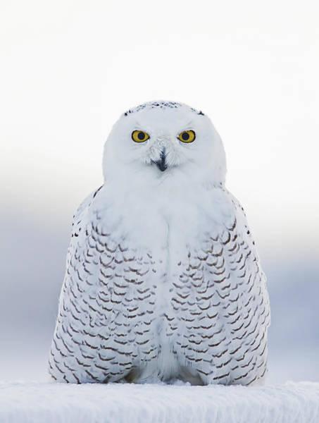 Nh Seacoast Snowy Owl  Art Print