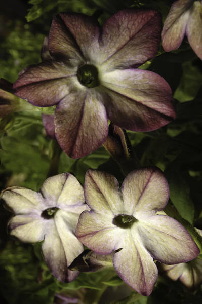 Photograph - Nicotiana by Curtis Dale