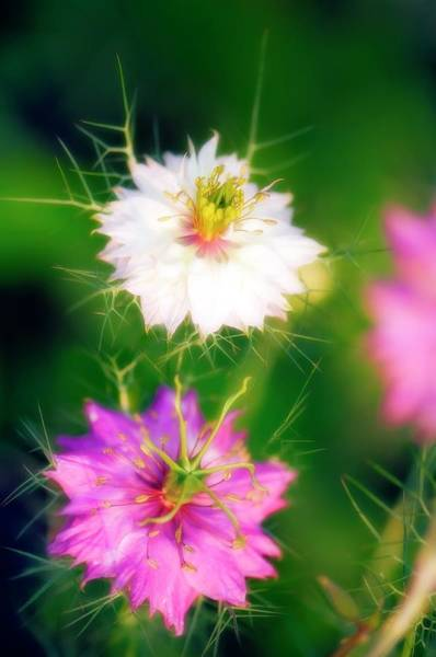 Love In The Mist Photograph - Nigella Damascena 'persian Jewels' by Maria Mosolova/science Photo Library