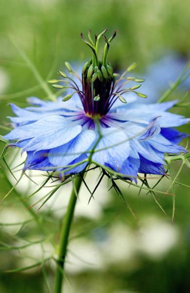Love In The Mist Photograph - Nigella Damascena 'persian Jewels' by Royal Botanic Garden Edinburgh/science Photo Library
