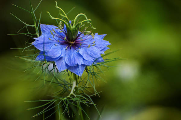 Photograph - Nigella Damascena by Rob Hemphill
