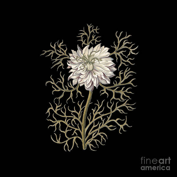 Wall Art - Painting - Nigella Damascena by Antique Images