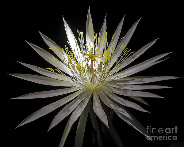 Photograph - Night-blooming Cereus 1 by Gerald Grow