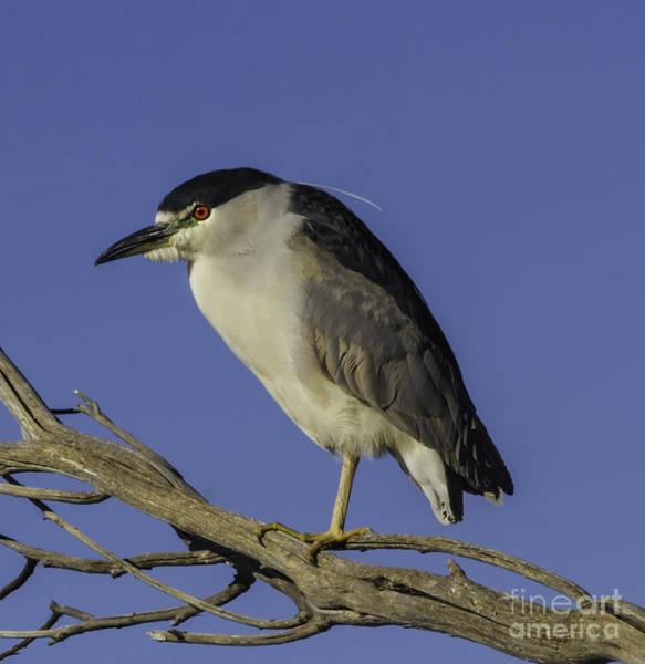 Night-heron Photograph - Night Heron 3 by Mitch Shindelbower