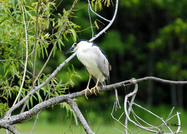 Photograph - Night Heron At Willow Pond by Dan Williams