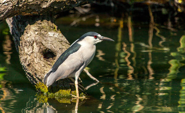Photograph - Night Heron by Kevin  Dietrich