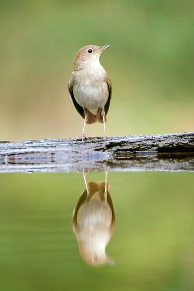 Rufous Photograph - Nightingale by John Devries/science Photo Library
