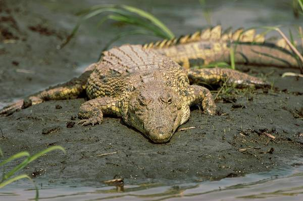 Bankside Photograph - Nile Crocodile by Dr P. Marazzi/science Photo Library