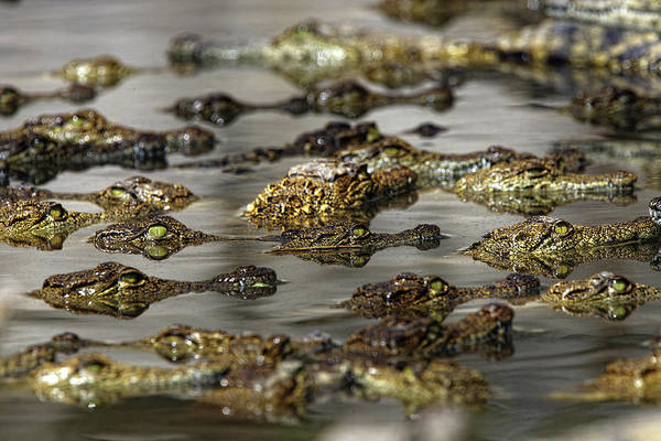 Urban Wildlife Photograph - Nile Crocodiles Crocodylus Niloticus by David Santiago Garcia