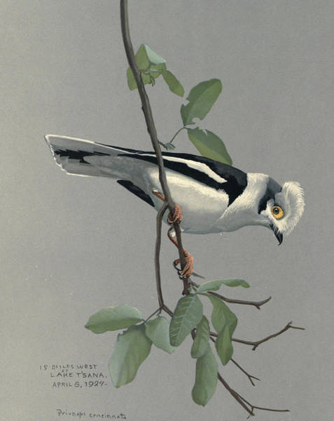 Nile Painting - Nile Helmet Shrike by Dreyer Wildlife Print Collections
