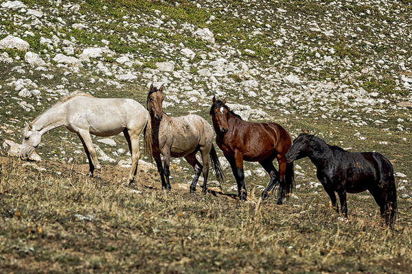 Photograph - Nimbus And Her Lads From Light To Dark - Pryor Mustangs by Belinda Greb