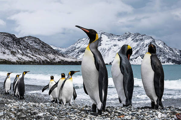 Wall Art - Photograph - Nine King Penguins  Aptenodytes by Deb Garside