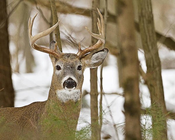 Photograph - Nine Point White Tailed Buck by John Vose
