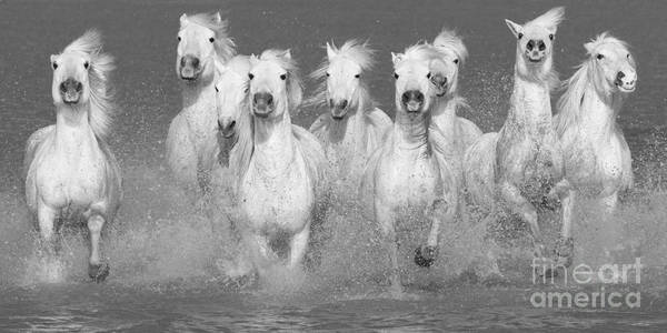 White Horse Wall Art - Photograph - Nine White Horses Run by Carol Walker