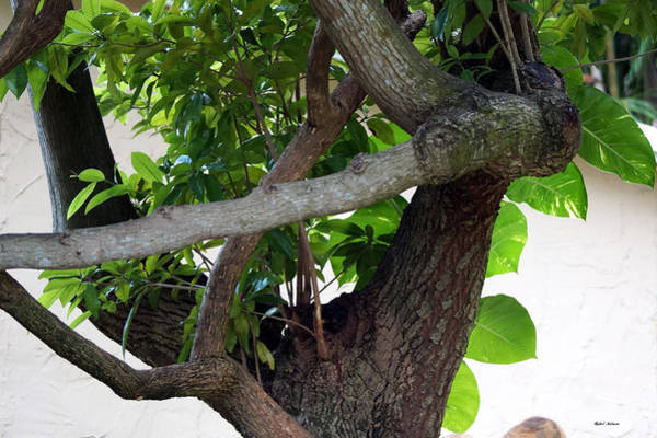 Photograph - Nispero Tree by Rafael Salazar