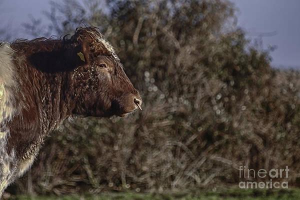 Bovine Photograph - No Bull by Nigel Jones