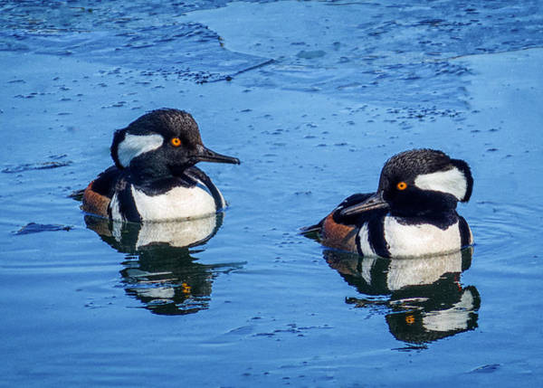 Photograph - Male Hooded Merganser Pair by Patti Deters
