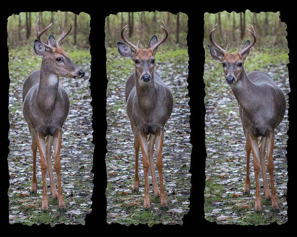 Photograph - Curious Yearling Deer by Patti Deters