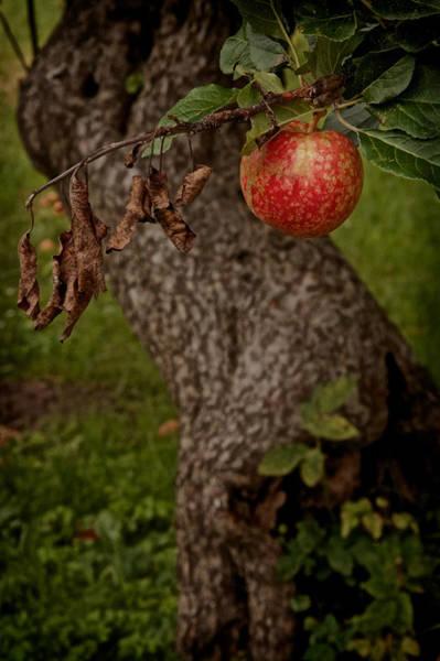 Fruit Tree Photograph - No Sin by Odd Jeppesen