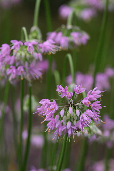 Photograph - Nodding Wild Onion by Daniel Reed