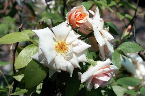 Rose In Bloom Photograph - Noisette (mme Pierre Cochet) by Brian Gadsby/science Photo Library