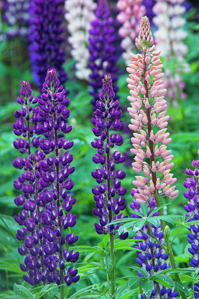 Cairngorms Photograph - Nootka Lupine (lupinus Nootkatensis) by Duncan Shaw/science Photo Library