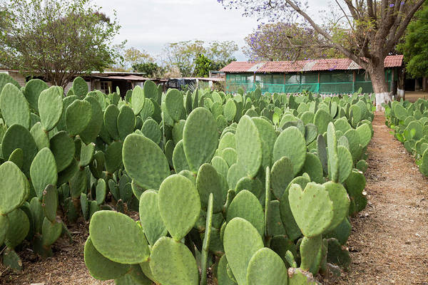 Opuntia Photograph - Nopal Cacti At Cochineal Farm by Jim West