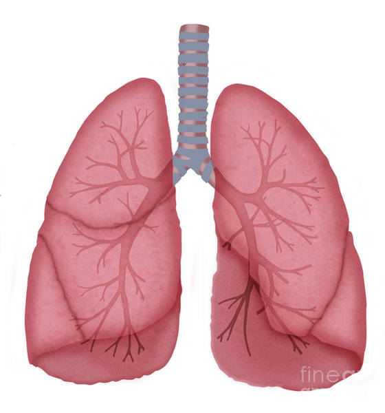 Photograph - Normal Lungs by Monica Schroeder