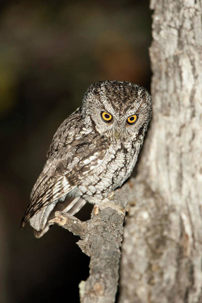 Screech Owl Photograph - North America, Usa, Arizona, Whiskered by Joe and Mary Ann Mcdonald