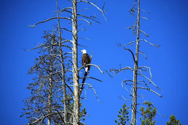 Photograph - North American Bald Eagle by Aidan Moran