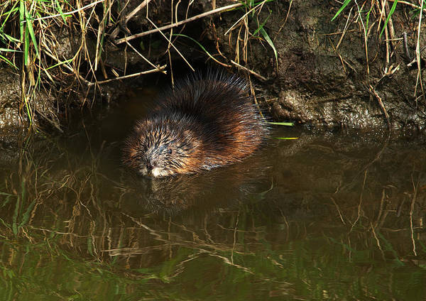 Alouette Wall Art - Photograph - North American Beaver by Sharon Talson