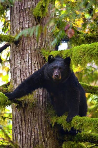 Ursidae Wall Art - Photograph - North American Black Bear by David Nunuk/science Photo Library