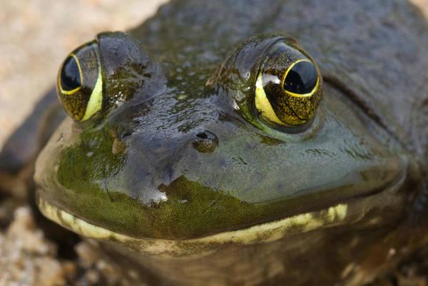 Bull Frog Photograph - North American Bullfrog by Paul Whitten