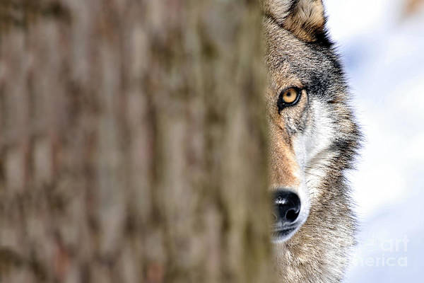 Photograph - North American Gray Wolf Behind Tree by Dan Friend