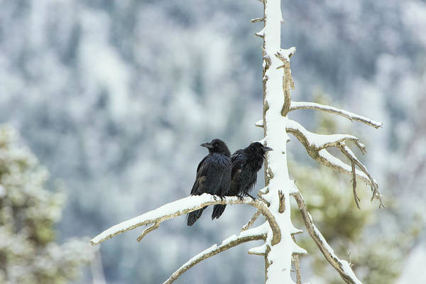 Photograph - North American Ravens Sat On A Branch by Paul W Sharpe Aka Wizard of Wonders
