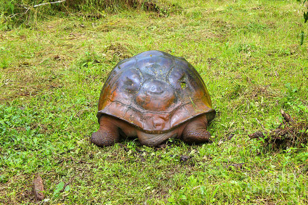 Wall Art - Photograph - North End Of Galapagos Giant Tortoise Going South by Al Bourassa