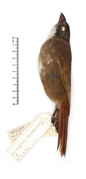 Stuffed Animal Photograph - North Island Piopio by Natural History Museum, London/science Photo Library