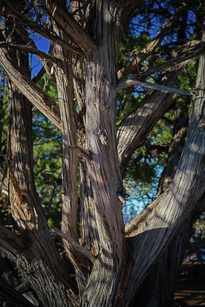 Cedar Tree Photograph - North Rim Cedar Tree by Eric R. Hinson