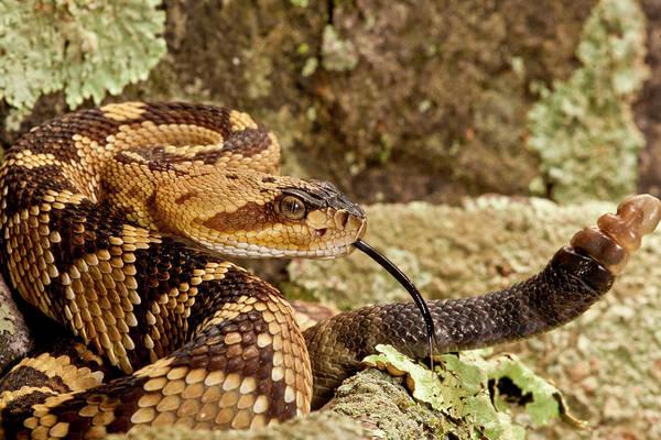 Rattlesnake Photograph - Northern Black-tailed Rattlesnake by David Northcott