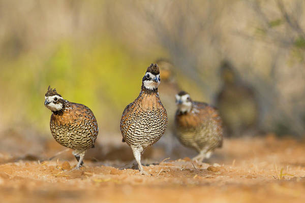 Camouflage Photograph - Northern Bobwhite Quail (colinus by Larry Ditto