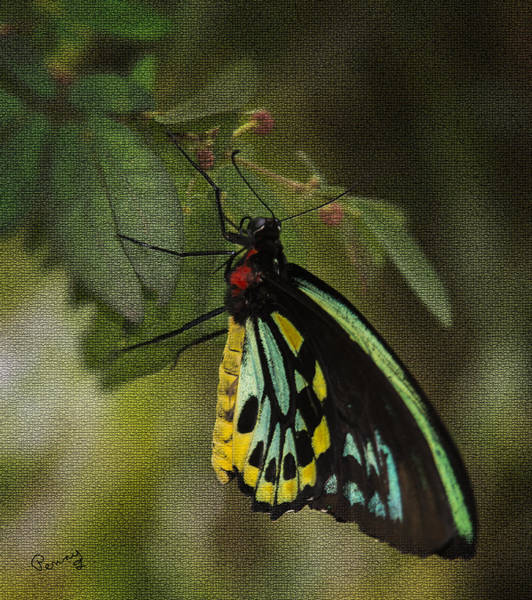 Photograph - Northern Butterfly by Penny Lisowski