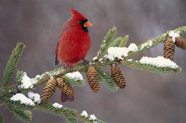 Photograph - Northern Cardinal And Pine Cones by Steve Gettle