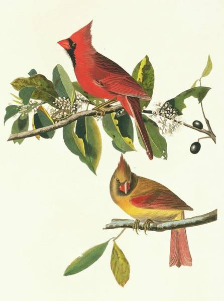 Aquatint Photograph - Northern Cardinal Birds by Natural History Museum, London/science Photo Library