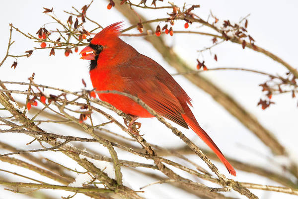 Rutland Photograph - Northern Cardinal Cardinalis Cardinalis by Carl D. Walsh