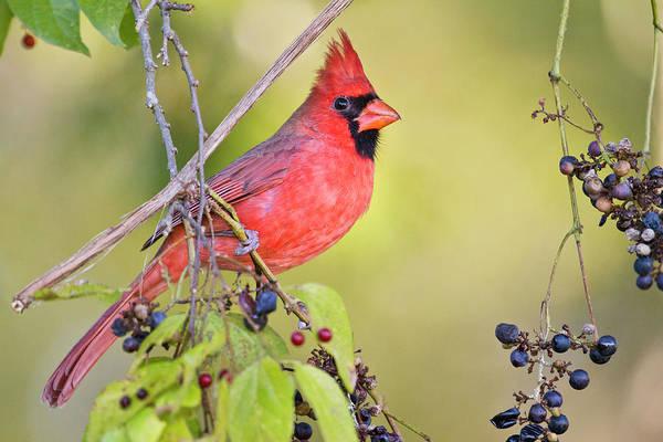 Wall Art - Photograph - Northern Cardinal (cardinalis Cardinalis by Larry Ditto