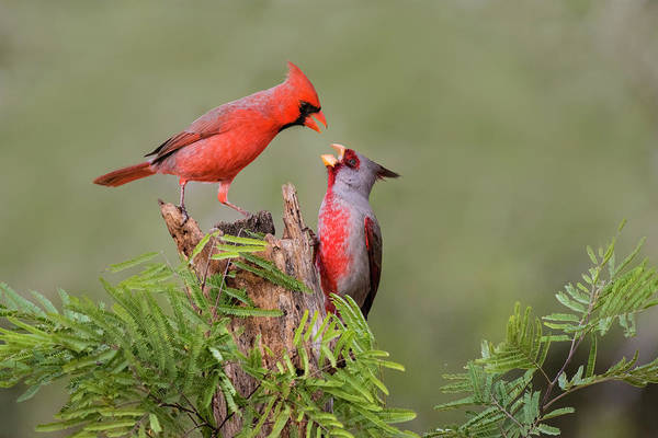 Cardinalis Photograph - Northern Cardinal Defending Perch by Larry Ditto