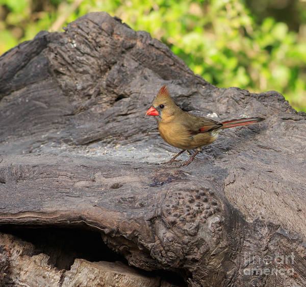 Wall Art - Photograph - Northern Cardinal by Louise Heusinkveld