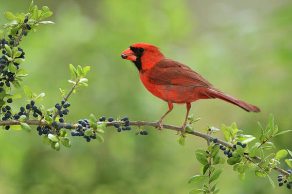 Wall Art - Photograph - Northern Cardinal Male Eating Elbow by Rolf Nussbaumer