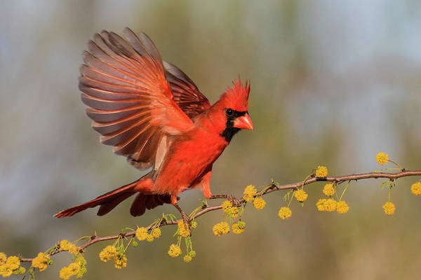Wall Art - Photograph - Northern Cardinal Male Landing by Larry Ditto